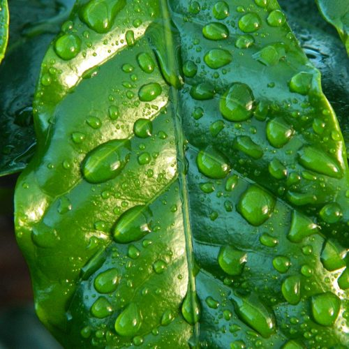 leaf-rain-coffee-water-38435